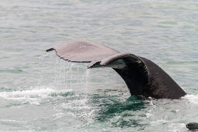 Close-up of humpback whale tale before submerging, Alaska