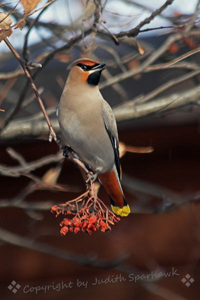 Bohemian Waxwing ~ This waxwing was photographed in Edmonton, Alberta, Canada.  They come to Edmonton in large numbers in the winter, foraging on the berries from Mountain Ash trees.