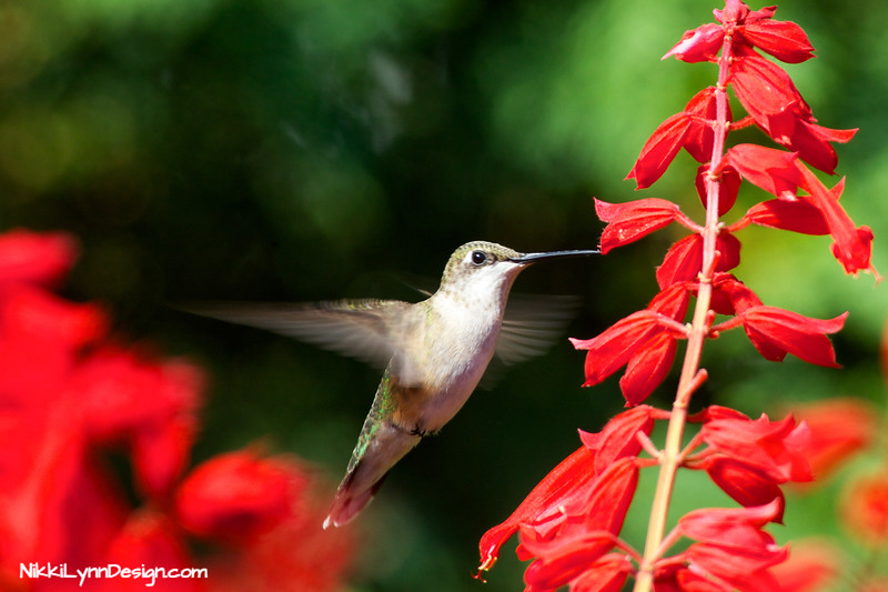 Hummingbirds love the color red. They also love tubular flowers.