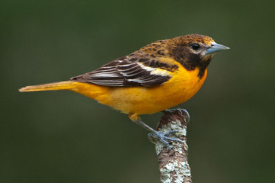 June 5, 2011 - More Migrant Birds