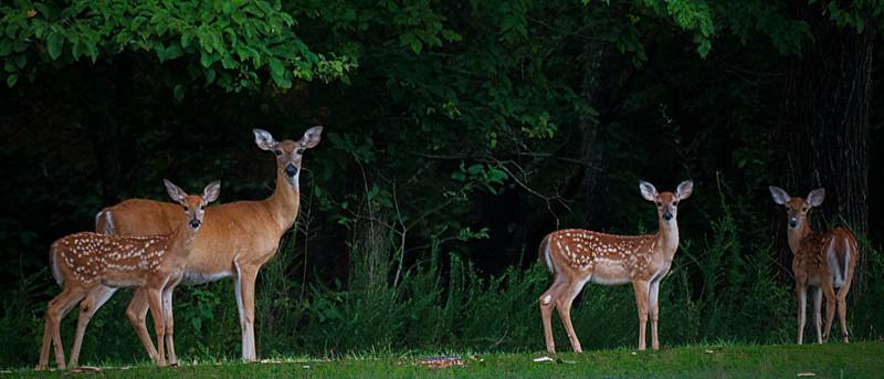 8.2.17 - Prairie Creek Recreation Area. Mama and Triplets.