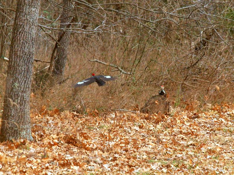 Pileated Woodpecker-002.JPG