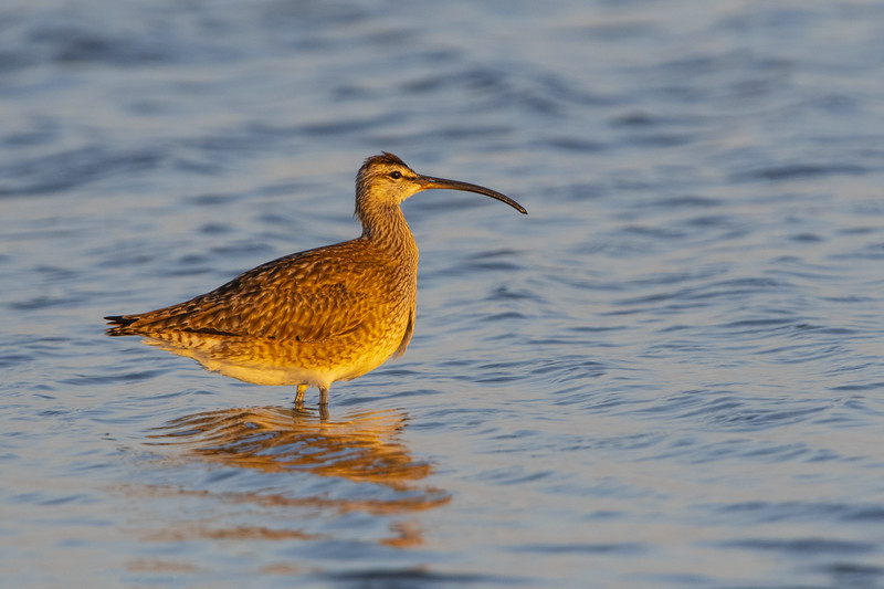 Whimbrel Two.jpg