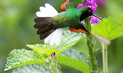 Black-bellied Hummingbird  ---  Colibri Pechinegro