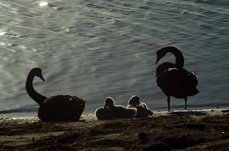 Black Swans (Lakes Entrance Victoria)