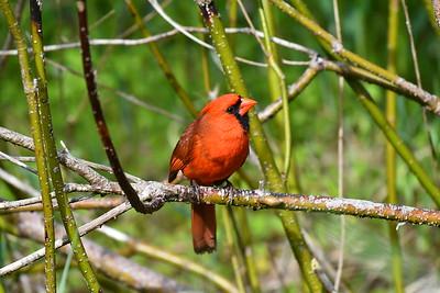 Cardinal and Deer.