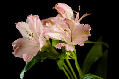 Soft Pink Freesia