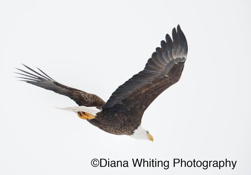 03_02_2019bald eagles_200 copy.jpg