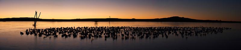 Snow Geese At Sunrise 0831268