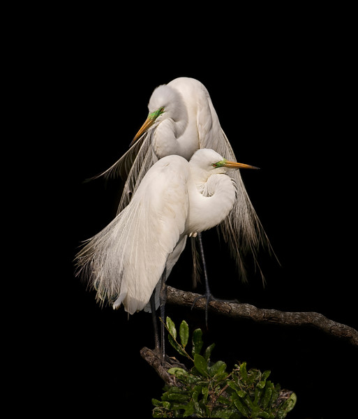 egret_great_breeding_pair_2.jpg