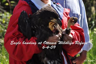 Eagle banding Ottawa Refuge 6-4-09