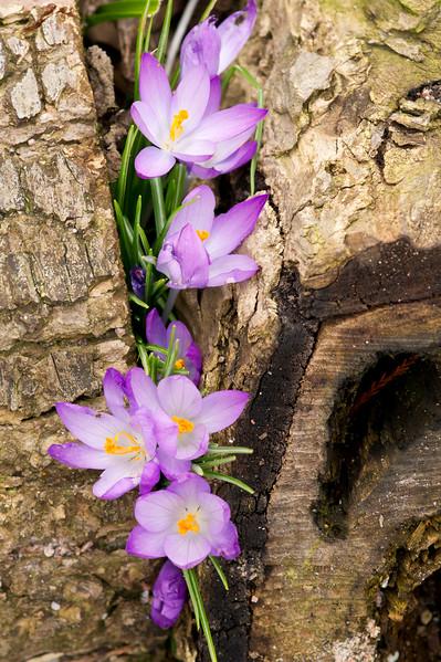 Purple crocus flowers peeking through a branch