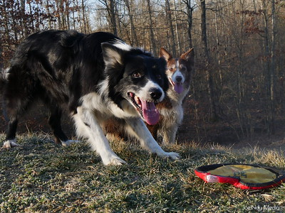 Pets - Shuck Border Collies 2.2016