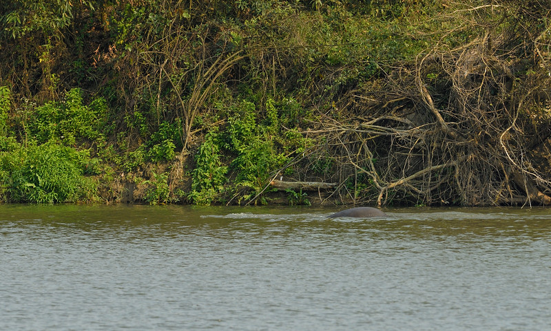 Elephant-swimming-across-lake-kaziranga-4.jpg