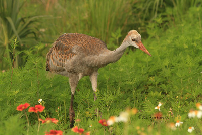 Sandhill Cranes @ Viera Wetlands