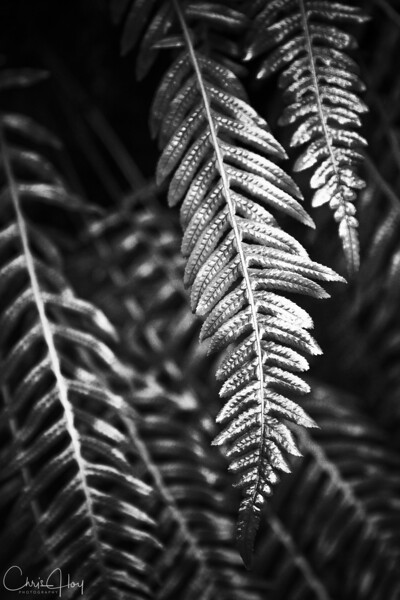 Black & White Fern