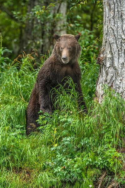 Inquisitive Brown Bear Russian River Cooper Landing, Alaska © 2013