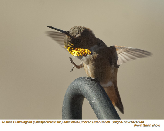 Rufous Hummingbird M32744.jpg