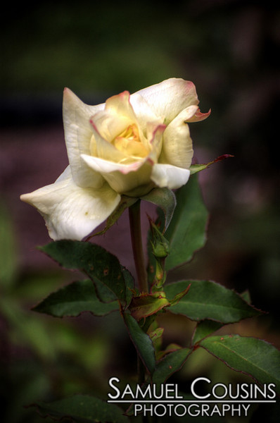 A white rose in the Deering Oaks gardens