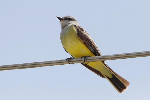 2011-06-12 Western Kingbirds