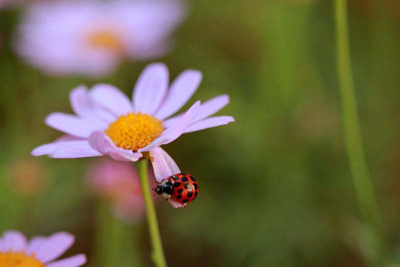 lady bug wild 4.jpg
