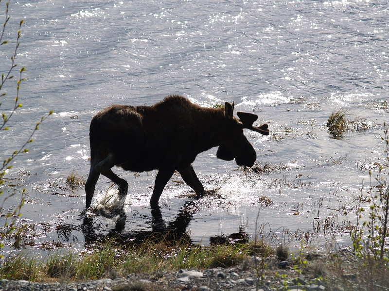 Here is the moose again. He continued grazing, not terribly concerned.