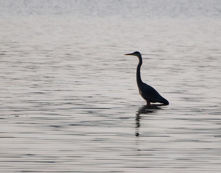 Heron at Eagle Creek Park