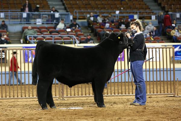 Maine Anjou Bull Ring Shots