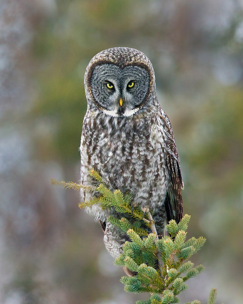 Great Gray Owls
