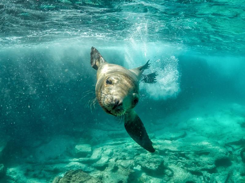 Sea Lion underwater with GoPro