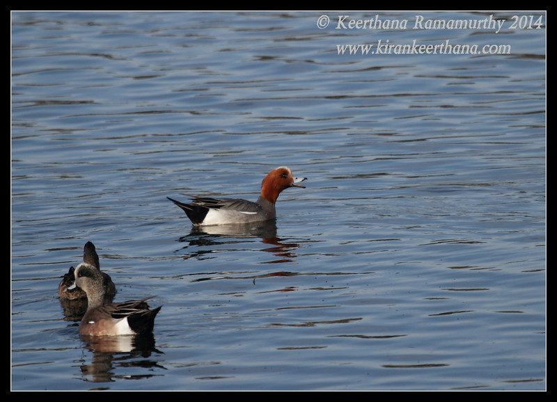 Eurasian Wigeon, our first, rare visitor to San Diego, Robb Field, San Diego River, San Diego County, California, February 2014