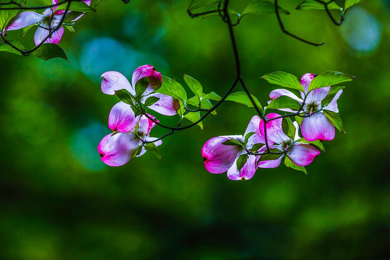 四照花,熟悉而陌生