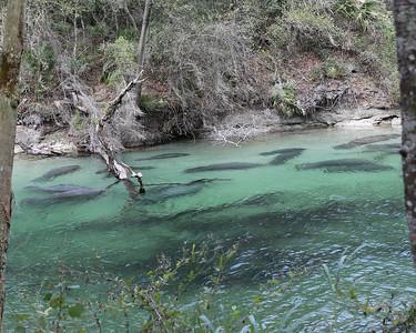 Blue Spring Park - Manatee Photos
