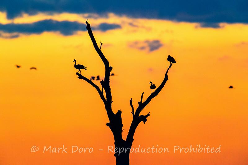 Magpie Geese roosting, Yellow Water Billabong, Kakadu, Northern Territory