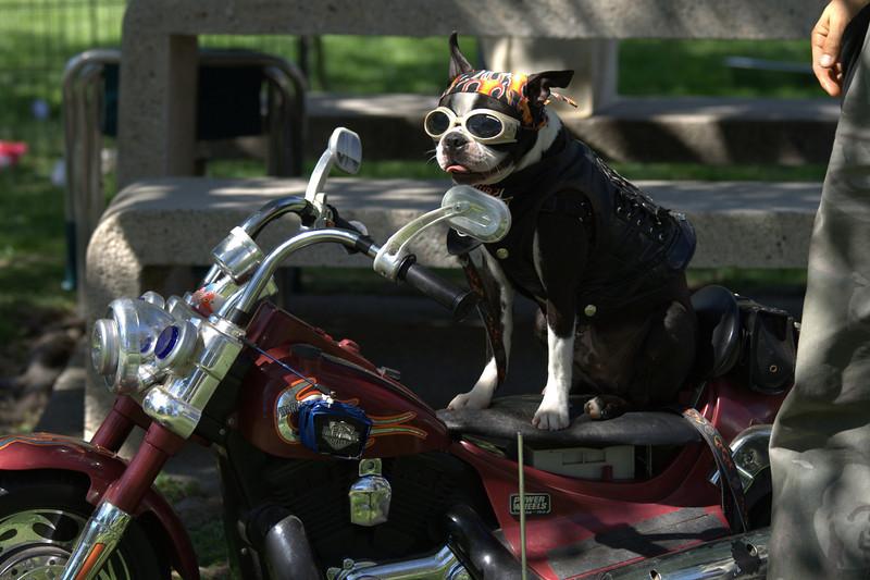 boston terrier oct 2010 198.jpg