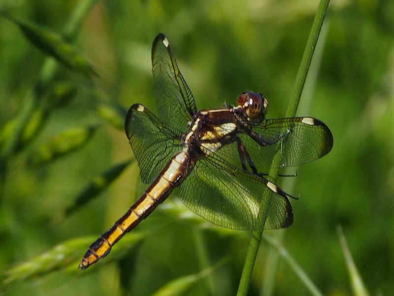 Spangled Skimmer, female