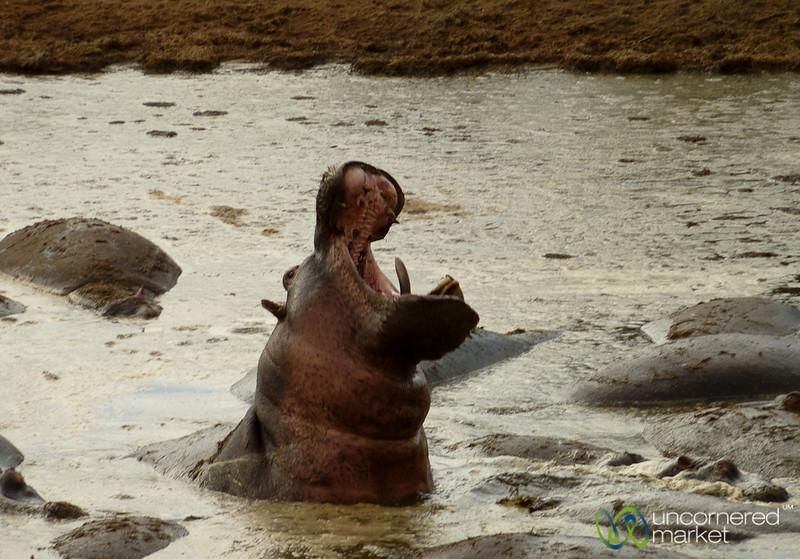 Hippo Yawn - Serengeti, Tanzania