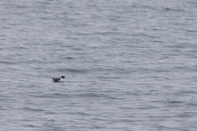 Ancient Murrelet off Stoney Point Lake Superior Lake County St. Louis County MN  IMGC7965.jpg