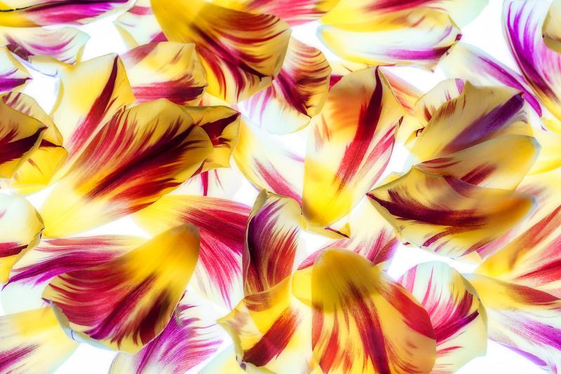 flame-tulip-petals-02.jpg