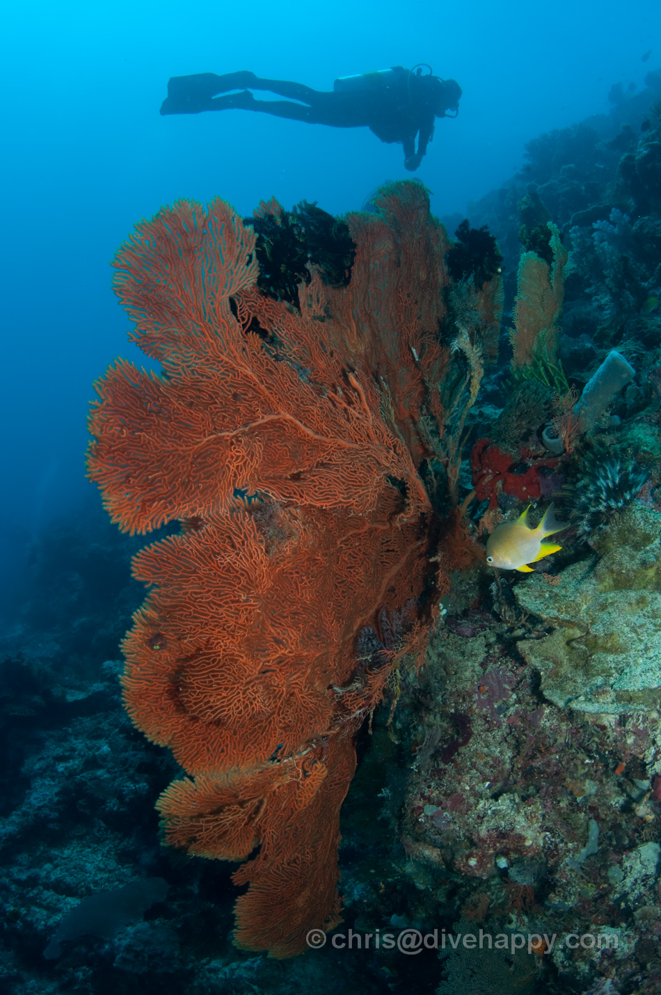 Fan coral and diver © Chris Mitchell