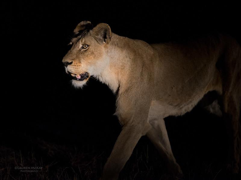 African Lion, Sabi Sands (EP), SA, Sept 2015-23.jpg