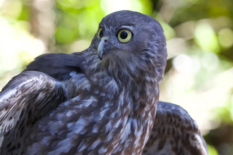Barking owl, Sunshine Coast, Australia