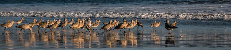 Drakes Beach Shorebirds