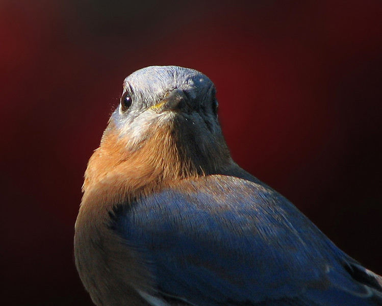 bluebird_3962c.jpg