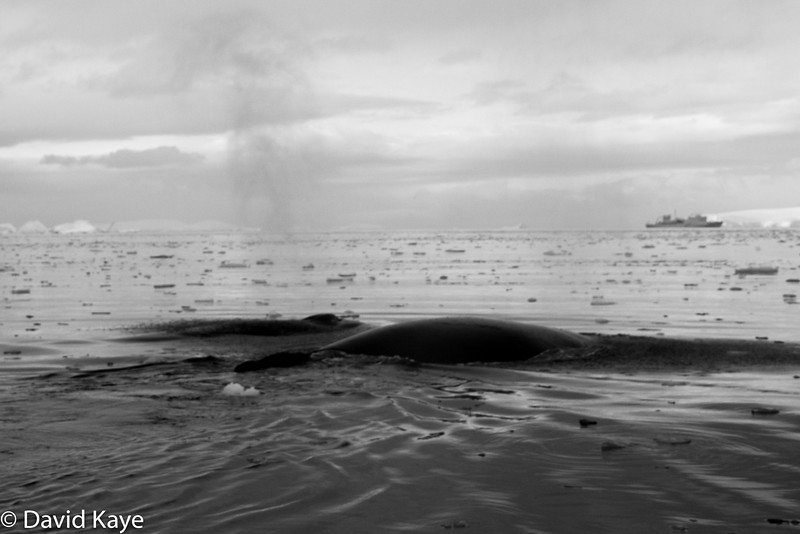 Notice the whale spouting a thin spray of water
