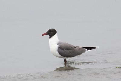 LARIDAE - Gulls, Terns, Skimmers