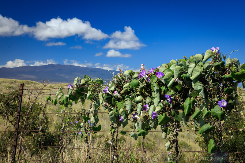 Morning glories on fence in upcountry near Waimea