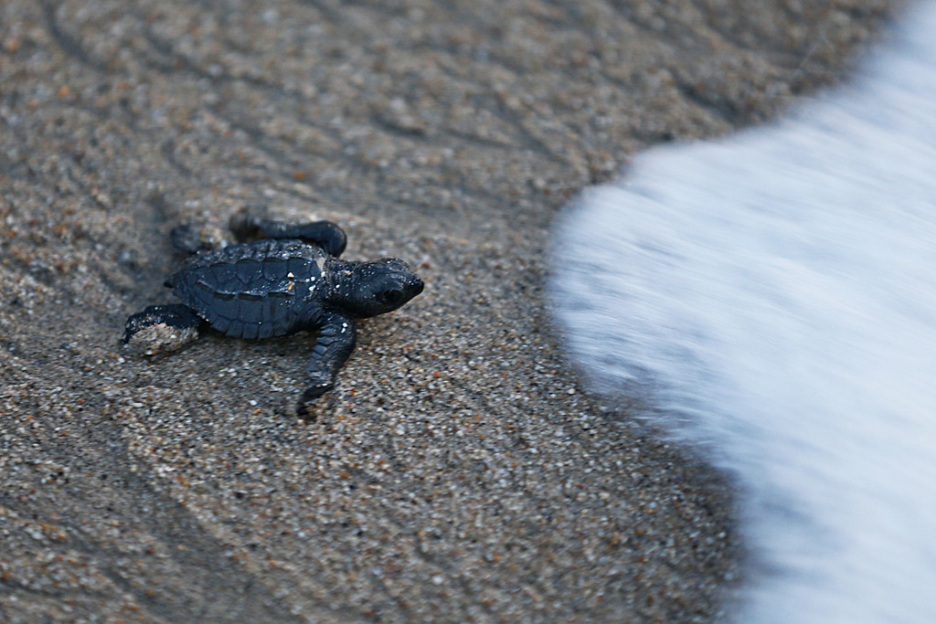 ". In this Saturday, Dec. 2, 2017 photo, an olive ridley sea turtle hatchling walks to the sea for the first time in Sayulita, Nayarit state, Mexico. A local non-profit organization ""Red Tortuguera\"" is helping the turtles survive by relocating recently laid eggs to a protected area of the beach, collecting the hatchlings to keep them safe from bird attacks, and releasing them as a group every Saturday at sunset. (AP Photo/Marco Ugarte)"