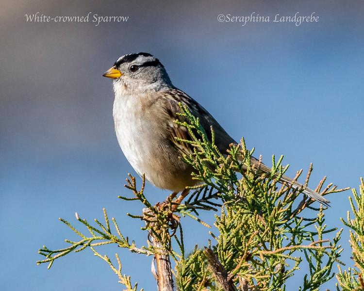 _DSC3994White-crowned sparrow.jpg