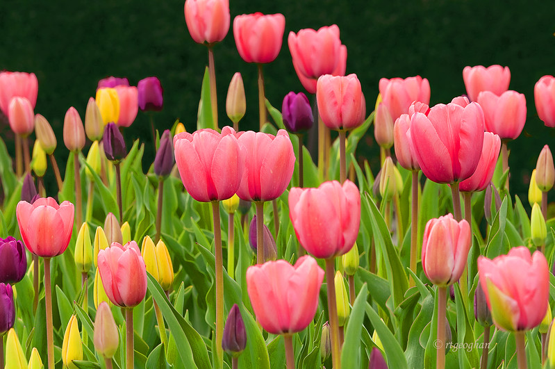 Tulip Garden_April 20HP_1894.jpg